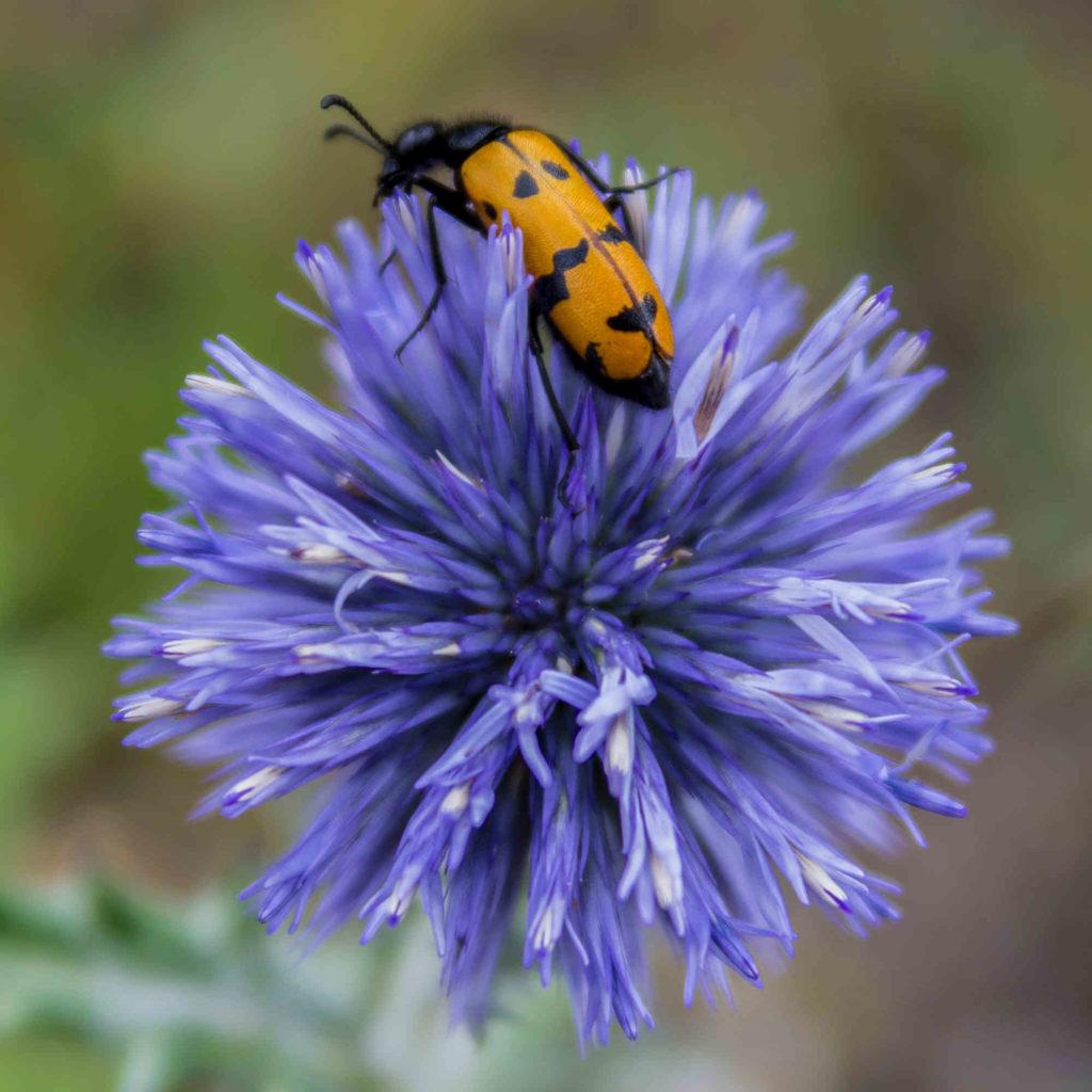 Insecte rouge sur une fleur bleue