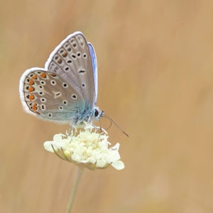 Papillon azuré sur une fleur