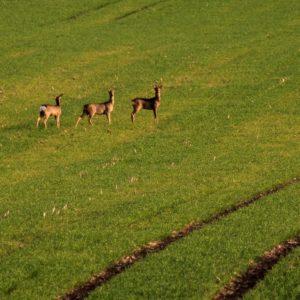 Trois chevreuils dans un champ